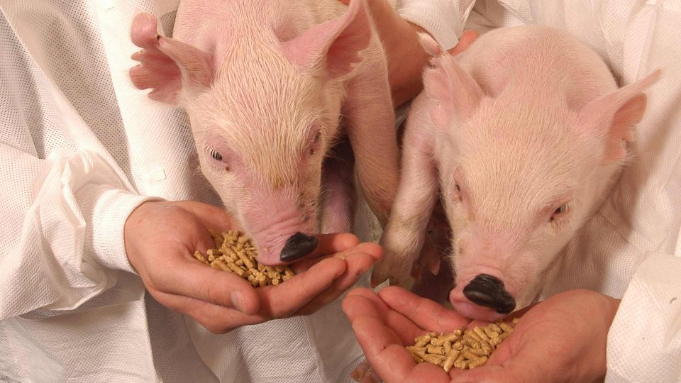 piglets eating food from scientists hands